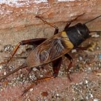 Popac (Gryllidae)