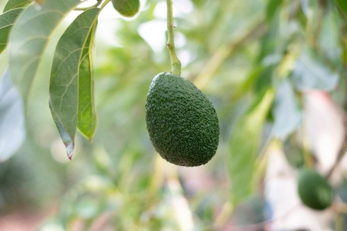 A close up of a fruit hanging from a tree  Description automatically generated