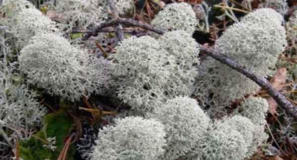 Ягель олений мох лекарственные свойства и противопоказания