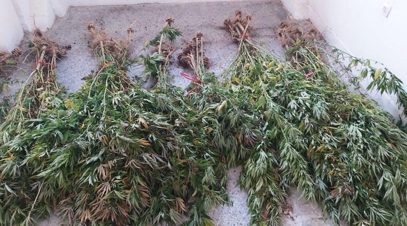 Κορινθία: Εντοπίστηκε νέα φυτεία δενδρυλλίων κάνναβης