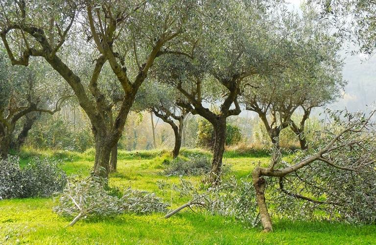 Καταγγελίες από Σταυρέλη και Πνευματικό για το κόψιμο ελαιόδεντρων στο Περιγιάλι