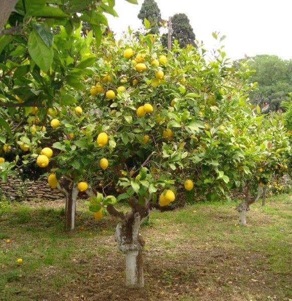 Ερώτηση στη Βουλή για την ανάγκη ενίσχυσης των παραγωγών λεμονιών