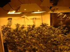 Indoor Cannabis