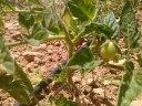 El primer tomatillo, Ekotania