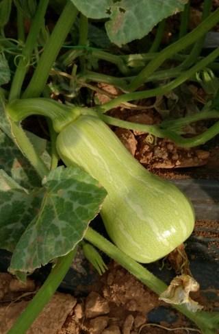 Calabaza-de-cacahuete