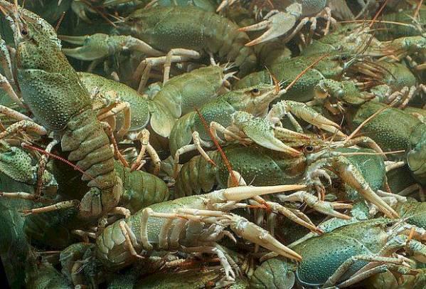 Рыбака задержали, раков отпустили