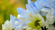 Daisies - Photography