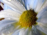 Rainy Daisy - Photography