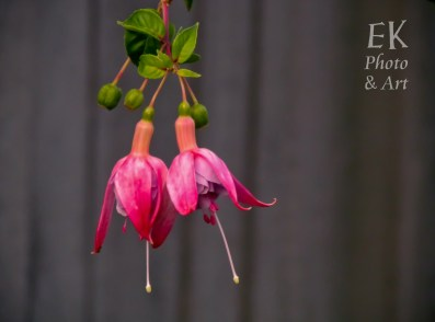 Pink Fuschia - Floral Photography