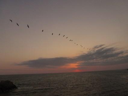 ocells que volen