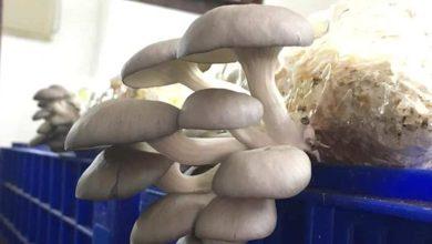 Photo of Hongos comestibles y el CONICET: logran record de microorganismos para su siembra.