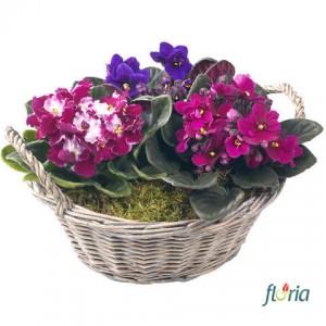 flori-violete-pentru-violeta-2624