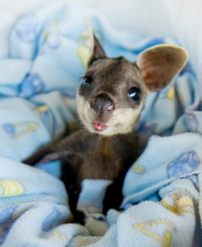 3-kangur