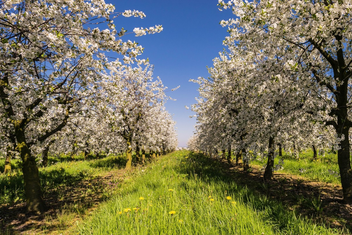 Cherry blooms are a favorite of elite chefs for specialty dishes in the spring
