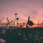 Wild flowers at sunset