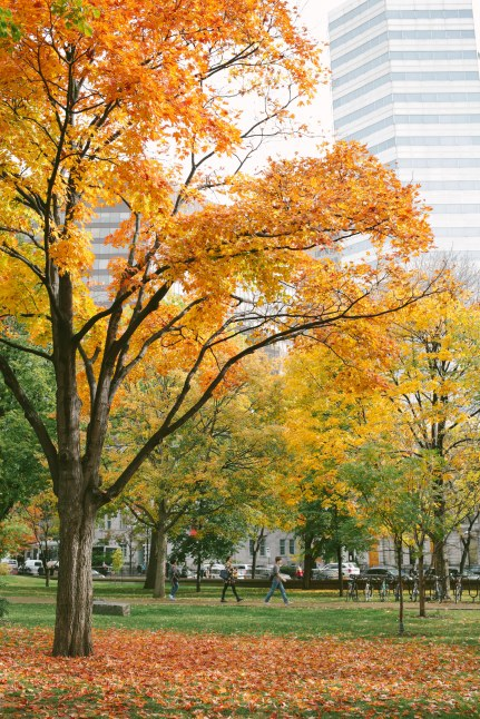 Yellow leaves in Montreal