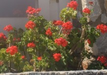 Red geraniums in Crete
