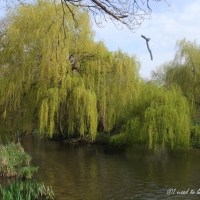 a weeping willow tree and the Sahara desert