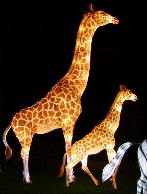 Longelat giraffes