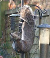 acrobatic squirrel