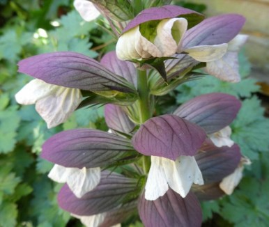 Acanthus spinosus (also known as bear's breeches for some reason!)