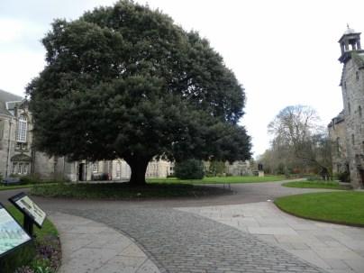 Holm Oak