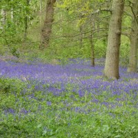 Carpets of bluebells in the woods