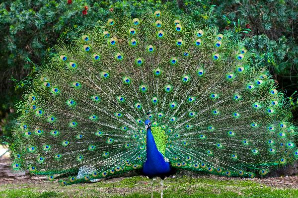 Peacock_With_Fanned_Tail_600
