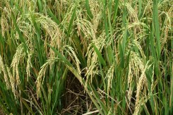 Rice that's ready to pick!