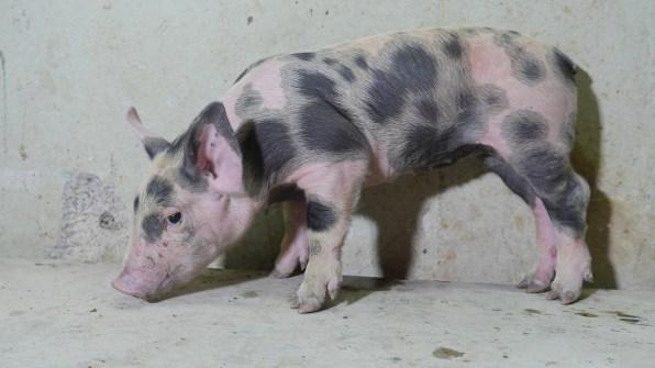 05-TinNyo_This_Little-Piggy_Portrait3