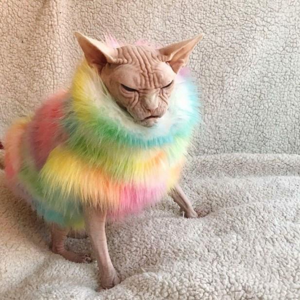 pisicile sfinx