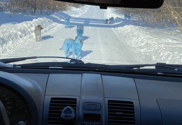 Câini cu blană albastră în Rusia. Care este cauza? 5