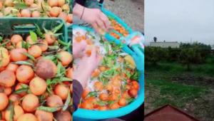 Români angajaţi în Italia să spele mandarine cu şampon de vase