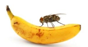 التخلص من ذبابة الفاكهة