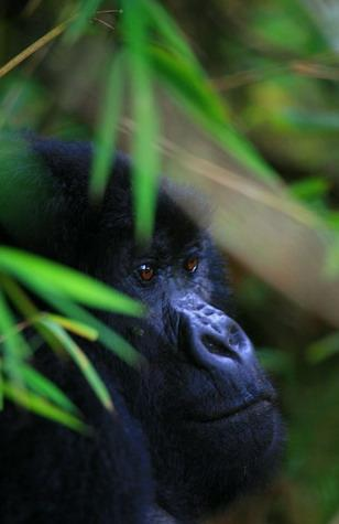 gorilas8_0