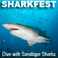 Sharkfest Sandtiger Shark Diving