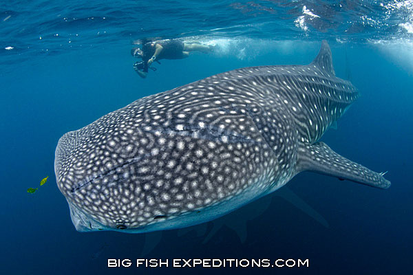 Big whale shark and diver