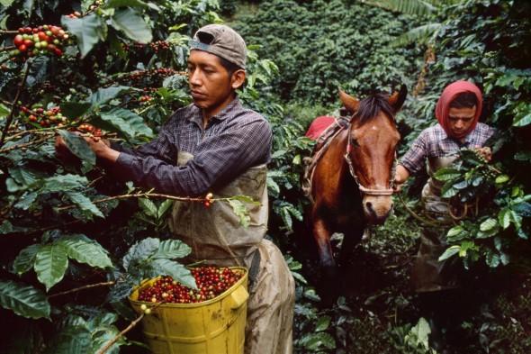 Dos hombres recolectan café en la selva. Colombia. 2005. Foto: Steve McCurry.