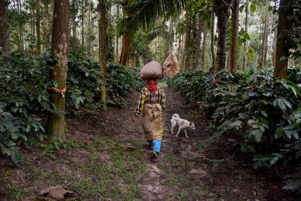 Una mujer camina a través de la jungla con un fardo de café en la cabeza. India. 2014. Foto: Steve McCurry.