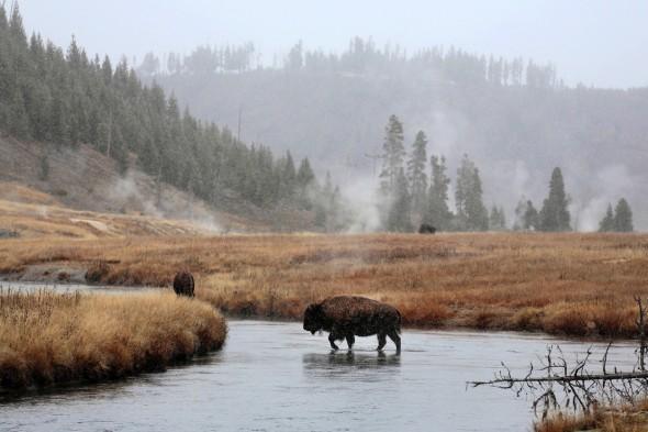 Bisontes capturados en Estados Unidos por el fotógrafo Andoni Canela.