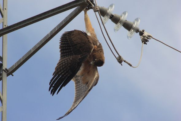 Un ave rapaz muerta en un tendido eléctrico.