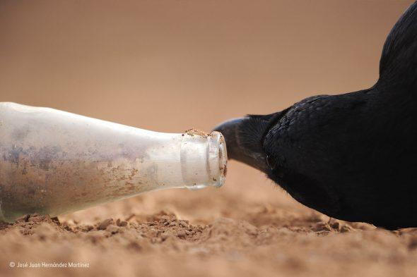 """Espío con mi ojo de cuervo José Juan Hernández Martínez, España Diversidad de la Tierra, Aves Preparado en el hide (escondite) desde antes del amanecer, José vio como el cuervo escudriñaba una botella de vidrio vacía con curiosidad. """"Se asomó a la boca"""", recuerda José, """"entonces la cogió con su pico, colocandola en diferentes posiciones -incluso en posición vertical- para inspeccionar mejor el contenido"""". Los cuervos son conocidos por su naturaleza curiosa y, al igual que muchos córvidos, por su inteligencia. La botella de cristal vacía es una trampa mortal para las pequeñas criaturas tales como lagartos y musarañas, todos ellos sus potenciales aperitivos. Aunque cazan insectos y pequeños vertebrados, la carroña es el menú principal para los cuervos hambrientos."""
