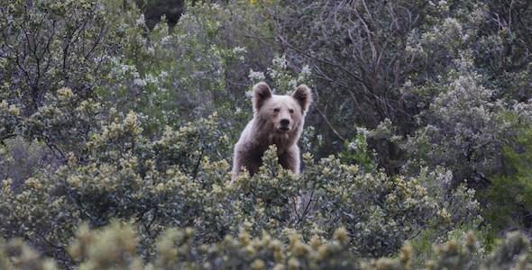 Un cachorro de oso pardo en la película 'Cantábrico'. Foto de José Ramón Lora.