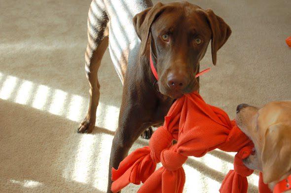 Este juguete perruno es un éxito: ¡y se fabrica con una toalla o manta vieja! Foto: Tattle Tails