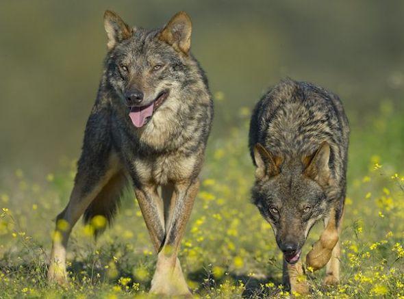 Fotograma de la película Barbacana, tras le huella del lobo.