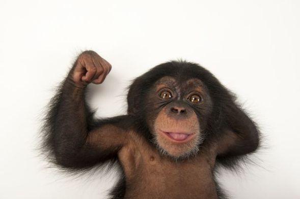 Rubén era un bebé de chimpancé de tres meses de edad cuando Sartore tomó esta imagen en el Lowry Park Zoo de Tampa (Florida, Estados Unidos).