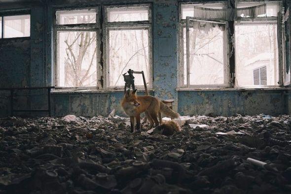 EL fotógrafo estaba explorando el aula abandonada en el entorno de Chernobyl cuando el zorro rojo entró trotando, quizás por curiosidad por el humano o quizás solo haciendo su ronda. © Adrian Bliss. Reino Unido - Wildlife Photographer of the Year.