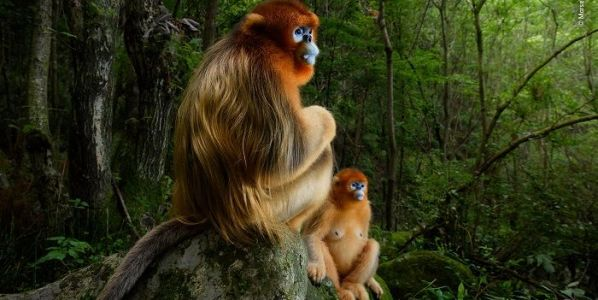 Foto ganadora absoluta del concurso. Una pareja de monos dorados de nariz chata en el bosque de las Montañas de Qinling, en China, el único hábitat de estos primates en peligro de extinción. © Marsel van Oosten - Wildlife Photographer of the Year