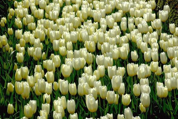 Tulipanes del Real Jardín Botánico de Madrid. Foto: Manuel M. V.