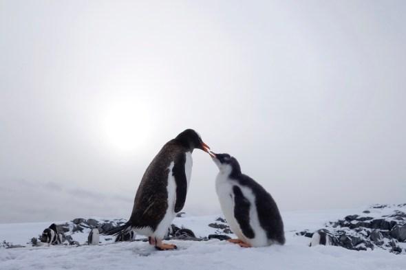 Mamá Pingüino. Una madre pingüino alimenta a su cría con krill. El pequeño pingüino luce todavía el plumón característico de las primeras semanas y tendrá que esperar a mudarlo completamente para poder meterse en el agua.